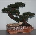 Дерево бонсай БУРЯ